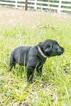 Labrador Retriever Puppy For Sale in MAGNOLIA, TX