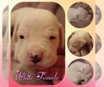 Puppy 2 Boxer
