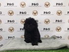 Poodle (Toy) Puppy For Sale in TEMPLE CITY, CA, USA