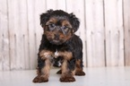Yorkshire Terrier Puppy For Sale in MOUNT VERNON, OH,