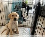 Small #2 Golden Labrador