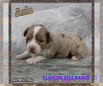 Small Photo #2 Miniature Australian Shepherd Puppy For Sale in FORESTBURG, TX, USA