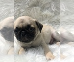 Small #3 Pug