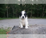 Small #1 American Bully Mix