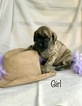 Mastiff Puppy For Sale in MUNFORD, AL, USA