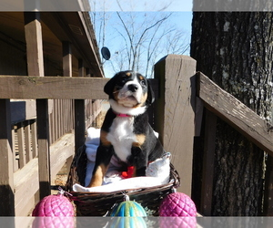 Greater Swiss Mountain Dog Puppy for Sale in CLINTON, Arkansas USA