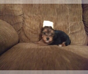 Yorkshire Terrier Puppy for Sale in WINSTON SALEM, North Carolina USA