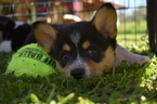 Pembroke Welsh Corgi Puppy For Sale in RAMONA, California,