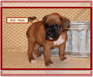 Boxer Puppy for Sale in PLATO, Missouri USA