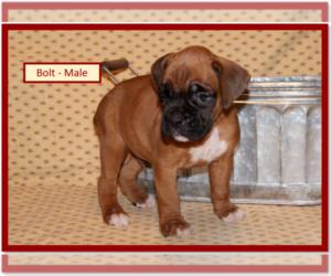 Boxer Puppy for sale in PLATO, MO, USA