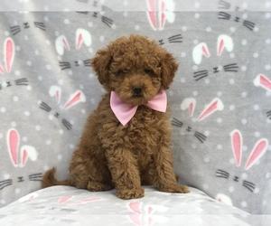 Goldendoodle-Poodle (Toy) Mix Dog for Adoption in LAKELAND, Florida USA