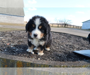 Bernese Mountain Dog Puppy for sale in KALAMAZOO, MI, USA