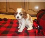 Puppy 3 Cavalier King Charles Spaniel