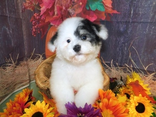 Havanese-Maltipoo Mix Puppy For Sale in HAMMOND, IN, USA