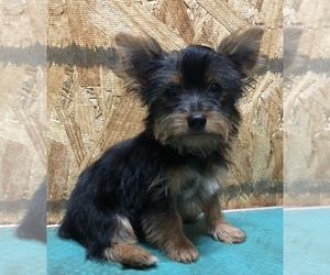Yorkshire Terrier Puppy for sale in DELAND, FL, USA