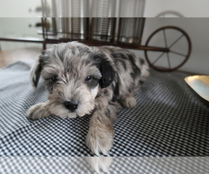 Schnoodle (Miniature) Dog for Adoption in INDIANAPOLIS, Indiana USA