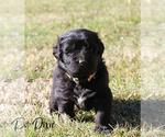 Puppy 12 Newfoundland