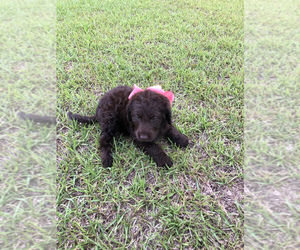 Labradoodle Puppy for Sale in EASTMAN, Georgia USA