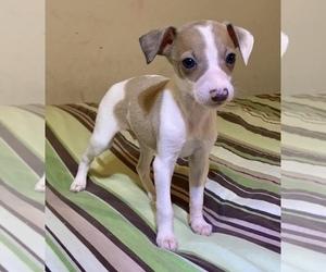 Italian Greyhound Puppy for Sale in BROOKLYN, New York USA