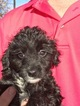 Aussie-Poo Puppy For Sale in FOUNTAIN, CO