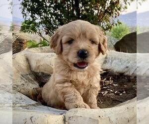 Medium Goldendoodle-Poodle (Miniature) Mix