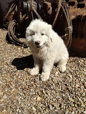 Great Pyrenees Puppy For Sale near 93436, Lompoc, CA, USA