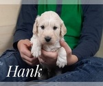 Small Photo #4 Goldendoodle Puppy For Sale in CEDAR GAP, MO, USA