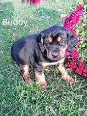 Black and Tan Coonhound-Border Collie Mix Puppy for sale in MECKS CORNER, PA, USA