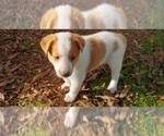 Puppy 1 Cattle Collie Dog