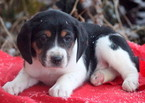Beagle-Miniature Australian Shepherd Mix Puppy For Sale in MOUNT JOY, PA, USA