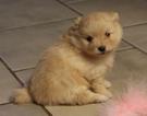 Pomeranian Puppy For Sale in HARRISON, AR, USA