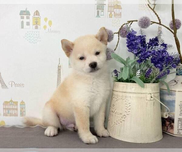 Medium Photo #4 Shiba Inu Puppy For Sale in SAN JOSE, CA, USA