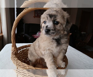 Aussie-Poo Puppy for sale in LOUISVILLE, KY, USA