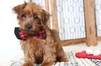 Poodle (Toy)-Yorkshire Terrier Mix Puppy For Sale in NAPLES, FL, USA