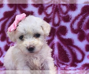 Bichon Frise Puppy for sale in QUARRYVILLE, PA, USA