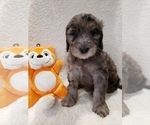 Small #20 Goldendoodle-Sheepadoodle Mix