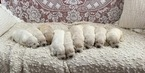 Golden Retriever Puppy For Sale in CHULA VISTA, CA, USA