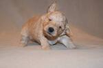 Goldendoodle Puppy For Sale in ARLINGTON, WA