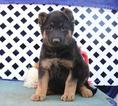 German Shepherd Dog Puppy For Sale in NEW HOLLAND, PA