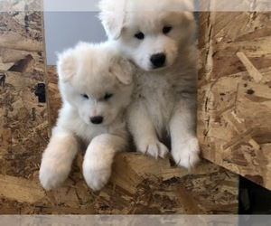 Samoyed Puppy for Sale in CONESUS, New York USA