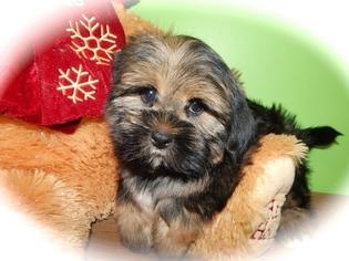 Shorkie Tzu Puppy For Sale in HAMMOND, IN