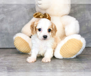 Cavachon Puppy for sale in CLEVELAND, NC, USA