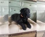 Puppy 4 Schnauzer (Giant)