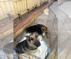 German Shepherd Dog Puppy for sale in CHULA VISTA, CA, USA