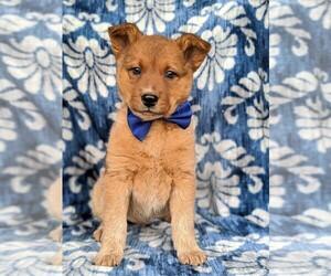 Australian Cattle Dog Puppy for sale in COCHRANVILLE, PA, USA