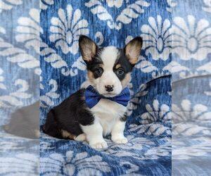 Pembroke Welsh Corgi Dog for Adoption in GLEN ROCK, Pennsylvania USA