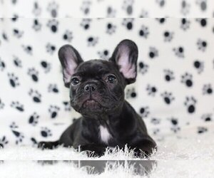 French Bulldog Puppy for sale in HINSDALE, IL, USA