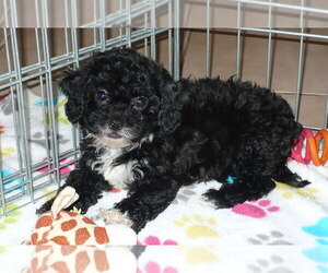 Poodle (Toy)-Zuchon Mix Puppy for sale in ORO VALLEY, AZ, USA