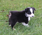 Puppy 3 Miniature American Shepherd