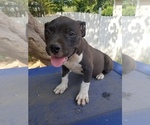 Puppy 3 American Bully Mikelands